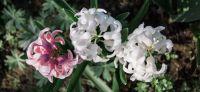 18_hyazinthe_hyacinthus