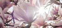 02_magnolie_magnolia_gartenplanung_gartengestaltung_pflanzplanung_leipzig