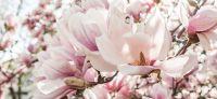 07_magnolie_magnolia_gartenplanung_gartengestaltung_pflanzplanung_leipzig