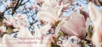 16_magnolie_magnolia_gartenplanung_gartengestaltung_pflanzplanung_leipzig
