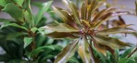 15_pflanzkuebel_lichthof_pieris_forest_flame
