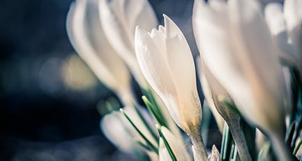 Krokus-Blüten - Gartengestaltung in Leipzig